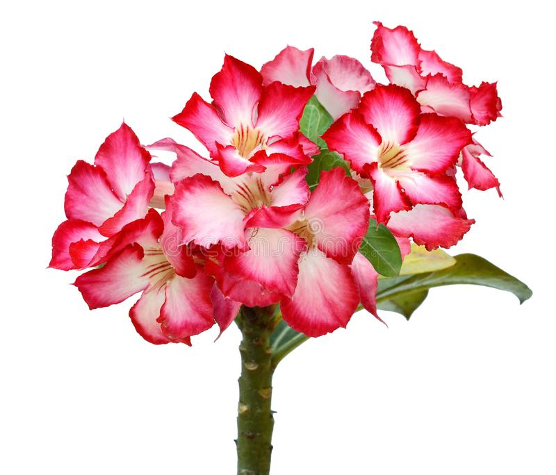 Close-up Impala Lily or desert rose isolate on white background. royalty free stock photography