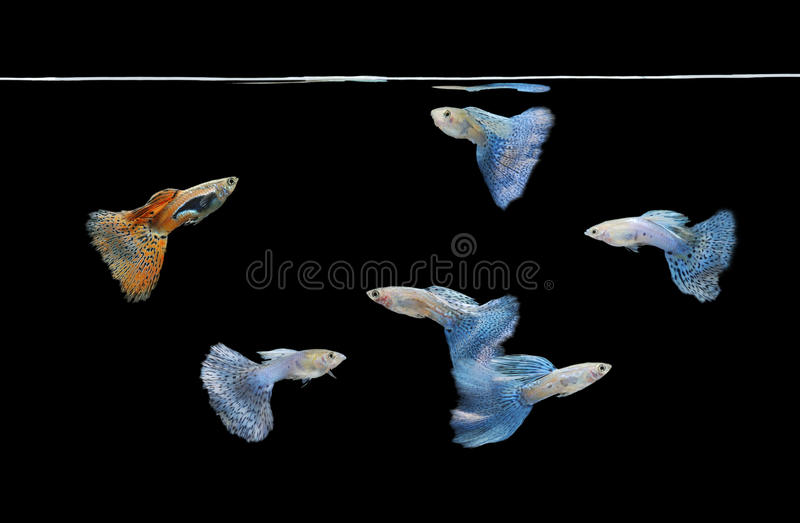 Group of red and blue guppies swimming royalty free stock photos