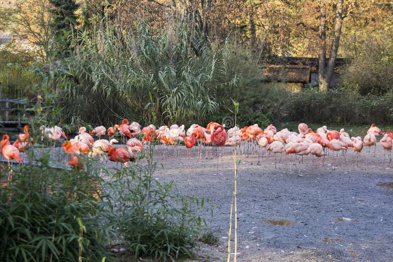 Group of red flamingos in europinian zoo. royalty free stock image