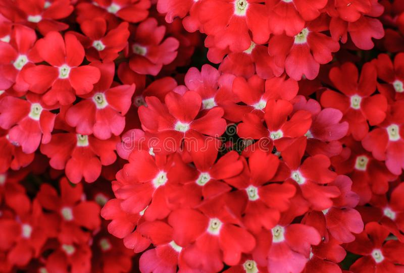 Group of red flowers background stock photo