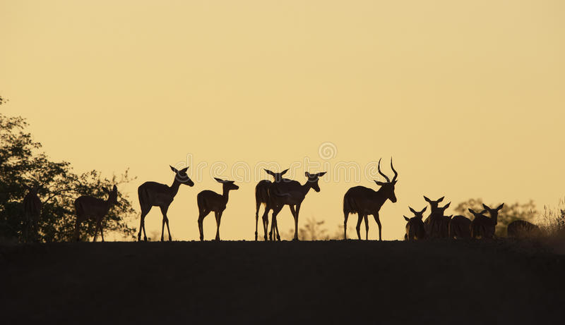 Group of red Impala stock images