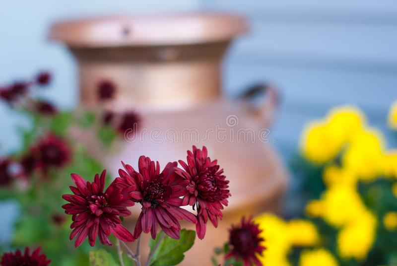 A group of 3 red mums with red mums, yellow mums, and a copper milk jug in the background stock photos