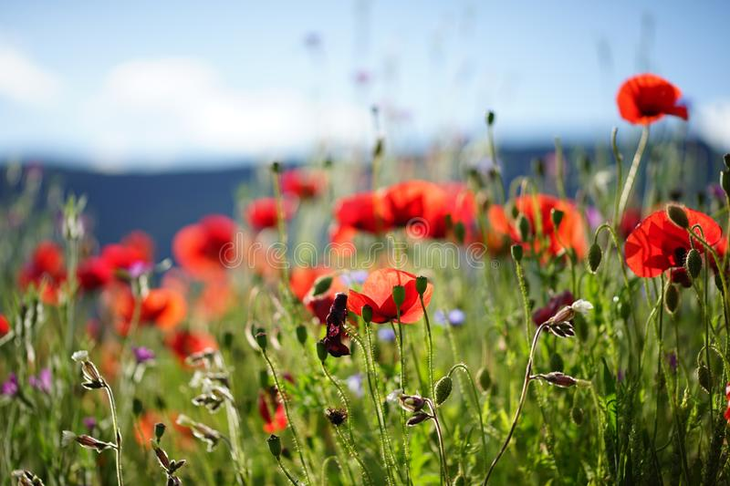 Red poppy flowers in green field n a sunny day. Background. Wallpaper stock photos