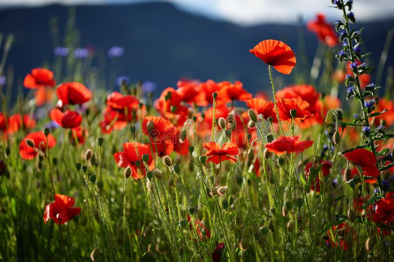 Red poppy flowers in green field on a sunny day. Background. Wallpaper. Group of red poppies in green grass. Macro photography in sunlight. Area, background royalty free stock photos