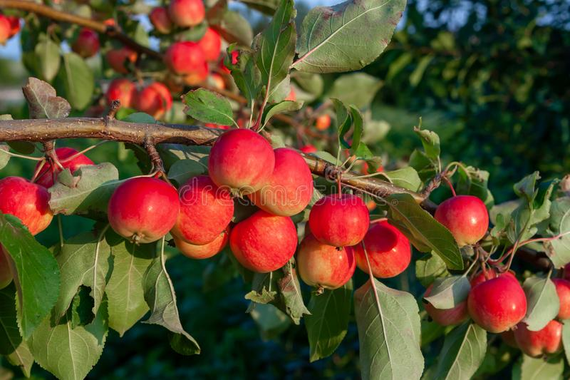 A group of red ripe delicious apples on a branch, close-up.  stock photos