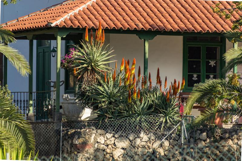 Group of red and yellow blooming aloe flowers - Aloe arborescens in small rural house garden on Tenerife. Sunny day. Long focus royalty free stock photo