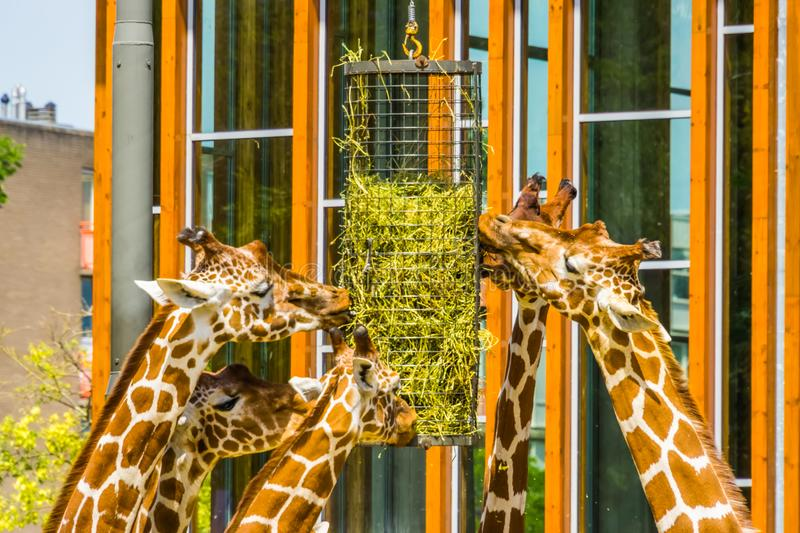 Group of reticulated giraffes eating from a hay basket, zoo animal feeding equipment, Endangered animal specie from Africa. A group of reticulated giraffes stock images
