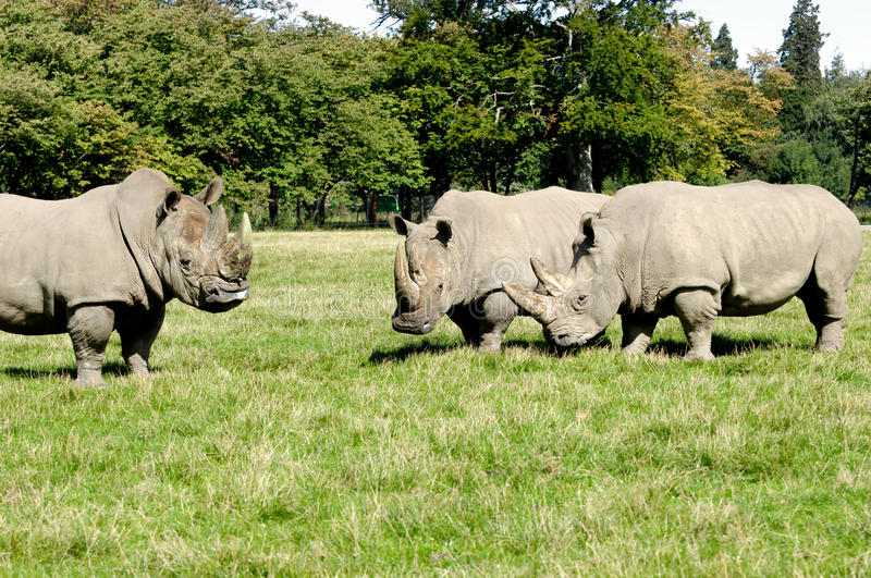 Group of rhino