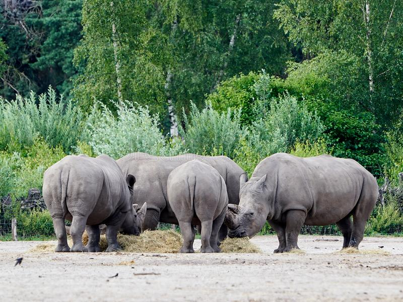 Group of Rhino`s eating, in the background lots of green trees stock photo