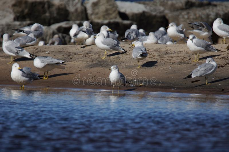 Group of Ring-billed Gulls on the beach royalty free stock photography