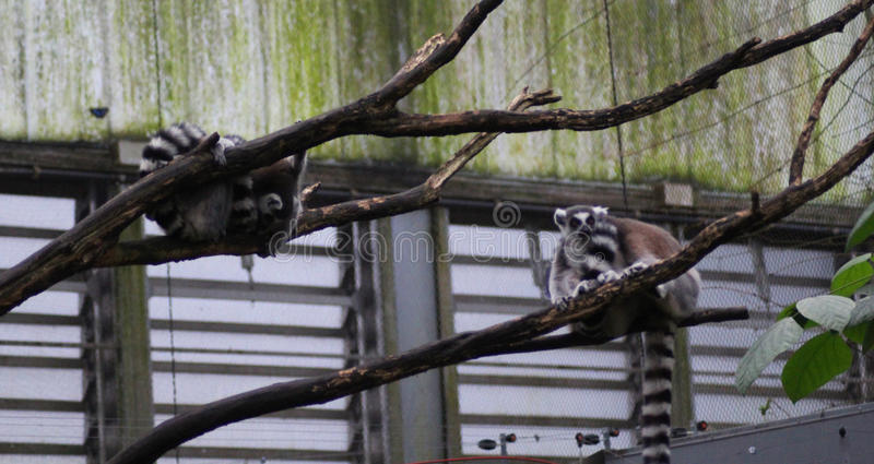 Download Group Ring Tailed Lemur Stock Photo - Image: 83705047