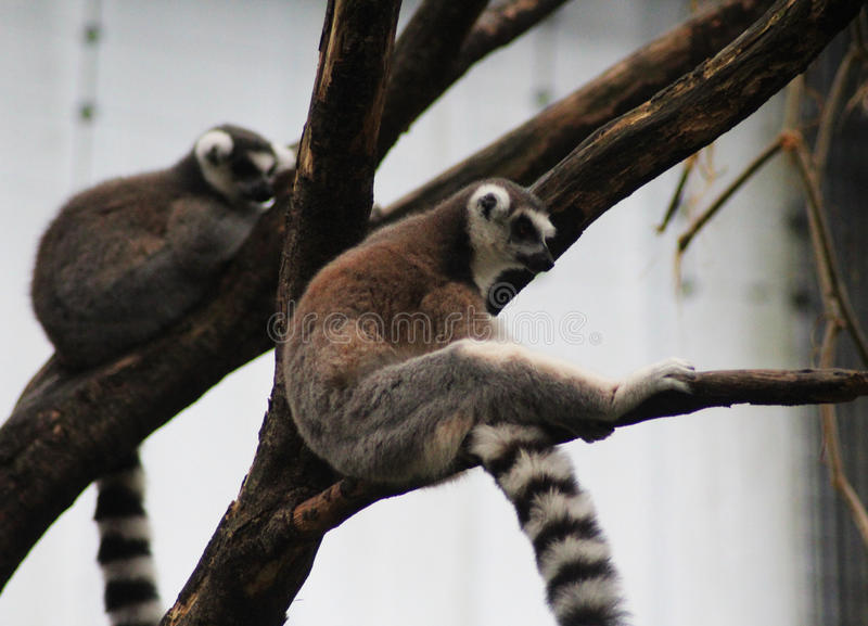 Download Group Ring Tailed Lemur Stock Photo - Image: 83705333