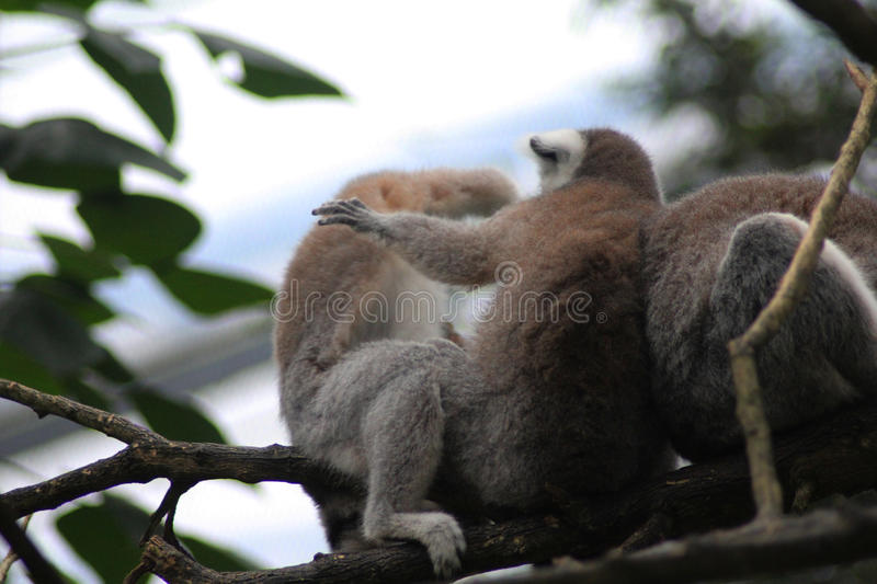 Download Group Ring Tailed Lemur Stock Photo - Image: 83704684