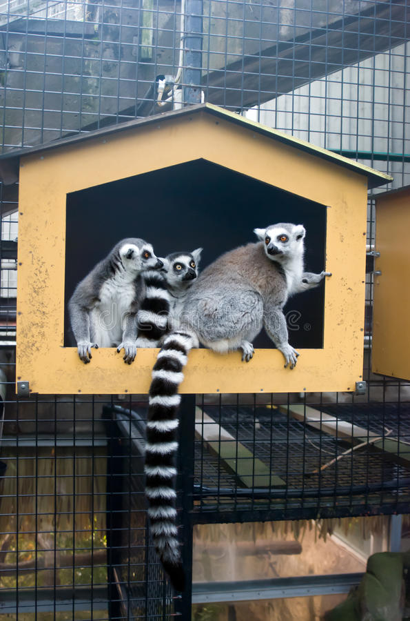Group Ring-tailed lemur stock photography