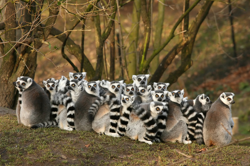 Group of ring-tailed lemurs. Animals: Group of ring-tailed lemurs stock images