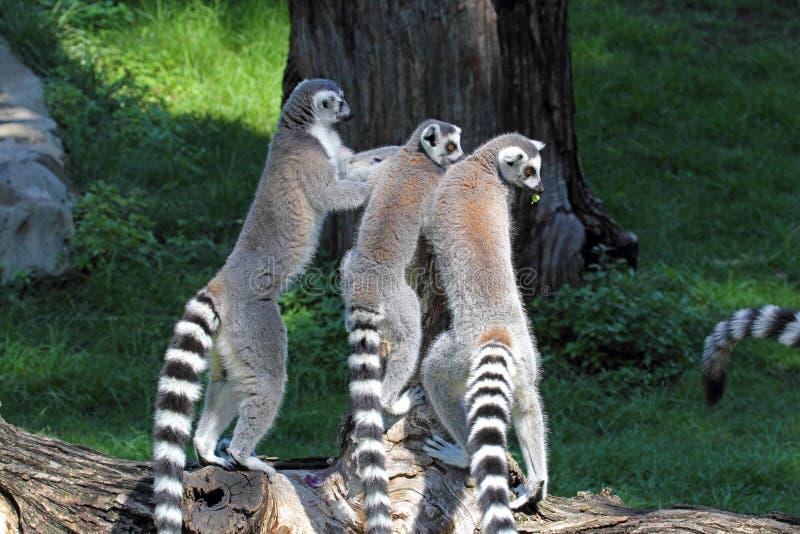 Group of ring-tailed lemurs (Lemur catta) on a log stock photo