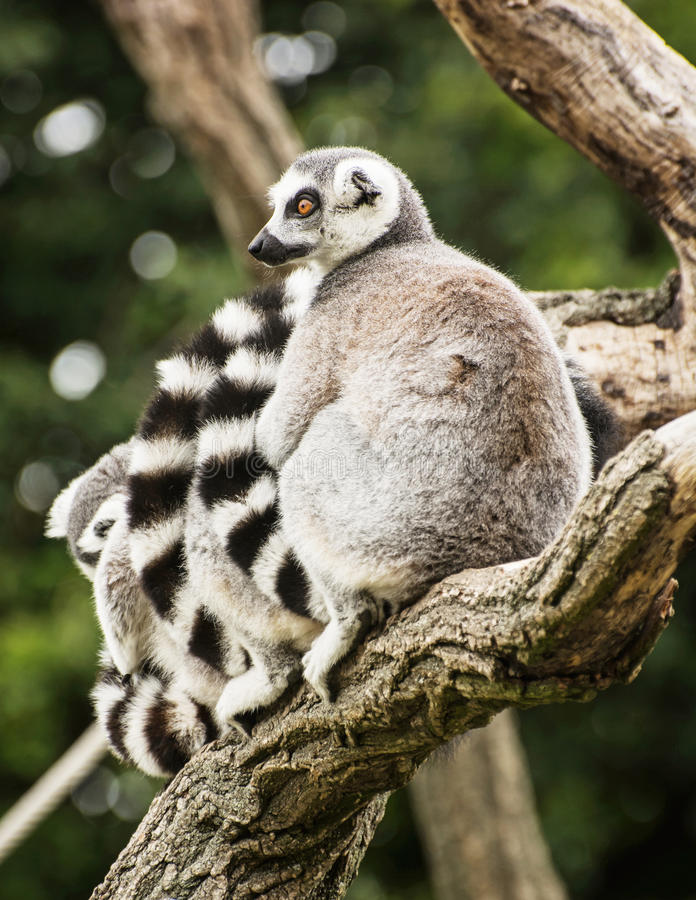 Group of Ring-tailed lemurs (Lemur catta) on the tree branch stock image