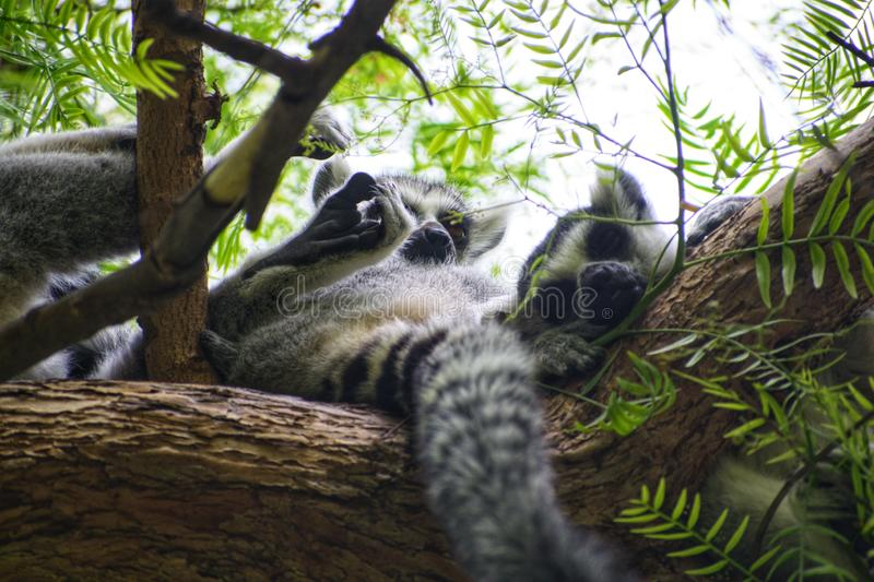 Group of ring-tailed lemurs sleeping over a tree. Group of ring-tailed lemurs & x28;Lemur catta& x29; sleeping over a tree african animal branch cuddling cute royalty free stock photography