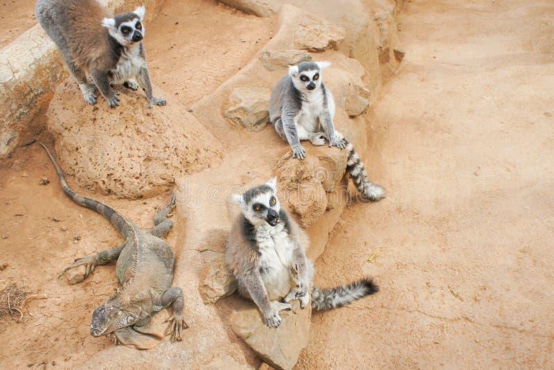 Group of ring tailed Maki Catta lemurs with big orange eyes. Madagascar lemurs stock image