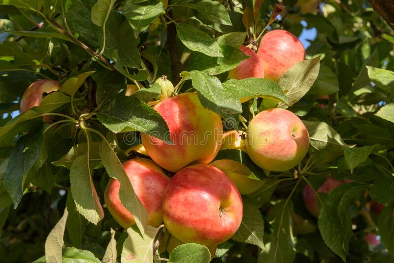 Group of ripe apples, ready to be picked royalty free stock photography