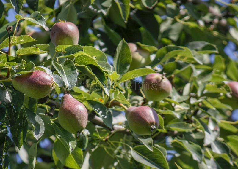 A group of ripe healthy yellow and green pears growing on a pear tree branch, in a genuine organic garden. Close-up royalty free stock image