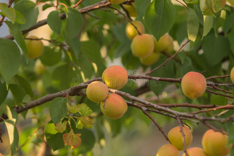 Group of ripe juicy yellow apricots on a branch stock images