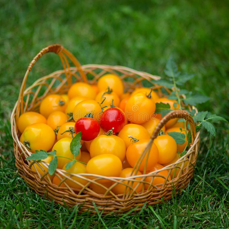 A group of ripe red and yellow cherry tomatoes royalty free stock images