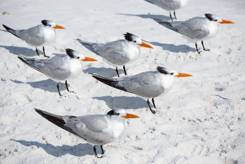 Group of royal terns sea birds stand on sandy Siesta Key beach in Florida stock image