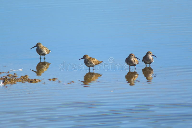 Group of sandpipers feeding in shallow water. Of Seaton Wetlands in Devon stock photography