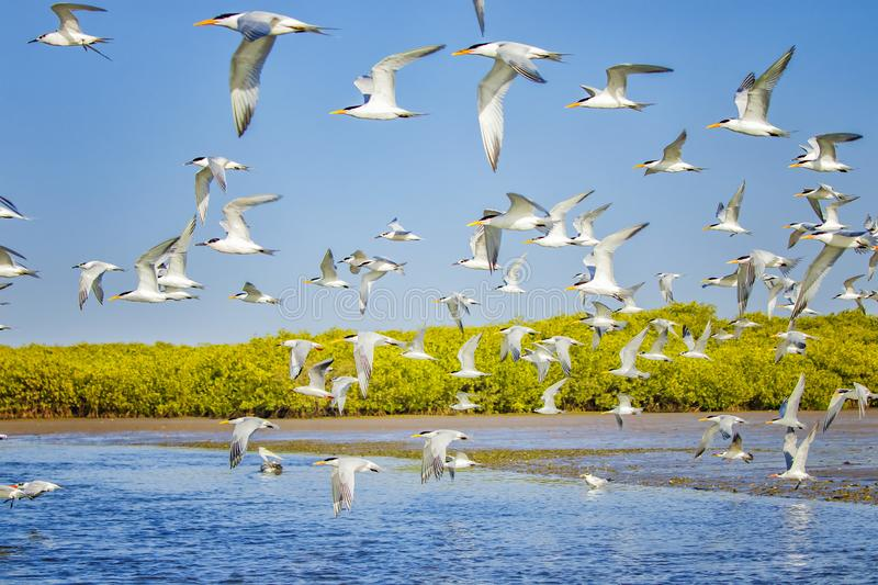 The group of sandwich terns in seabird parks and reserves of Senegal, Africa. They areflying in lagoon Somone. There is sunset. It is focused on the center of royalty free stock image