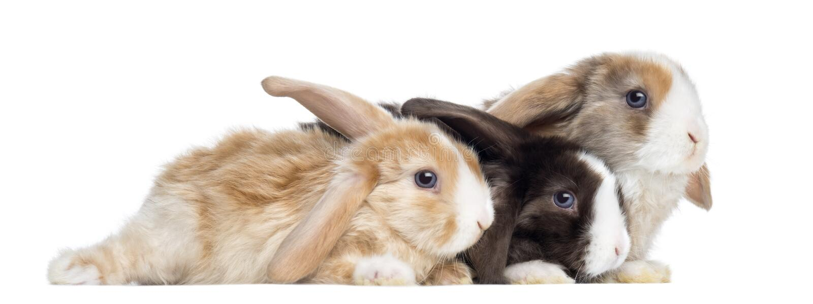 Group of Satin Mini Lop rabbits lying, isolated royalty free stock image