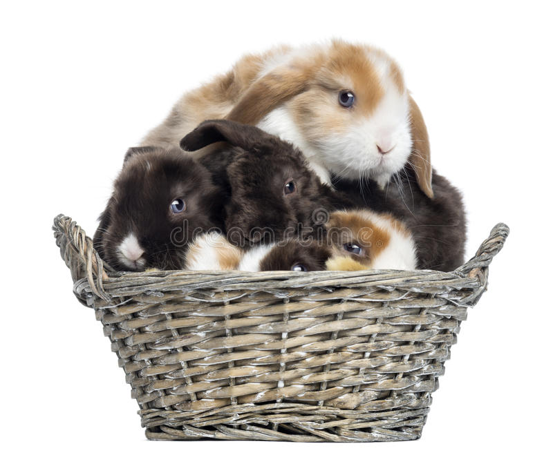 Group of Satin Mini Lop rabbits piled up in a wicker basket stock image