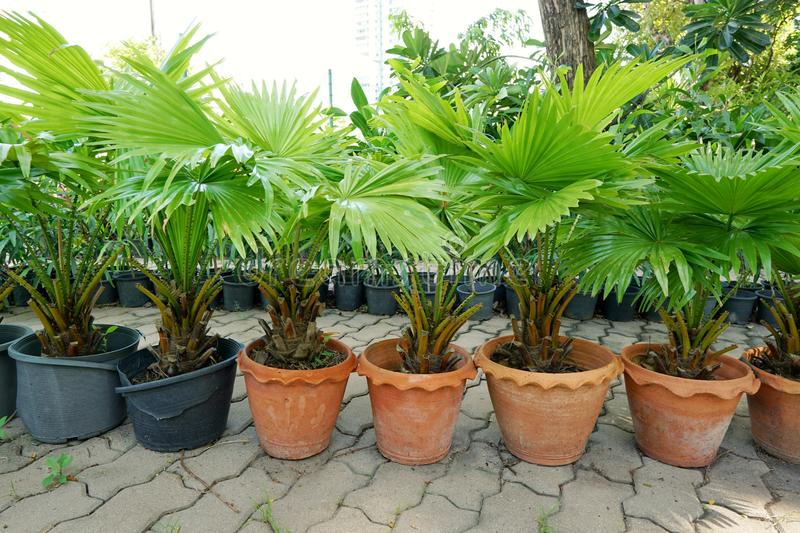 Group of saw palmetto tree. Group of saw palmetto tree, Ecological Concept, Space for text in template sabal palm, Serenoa repens, vertical royalty free stock images