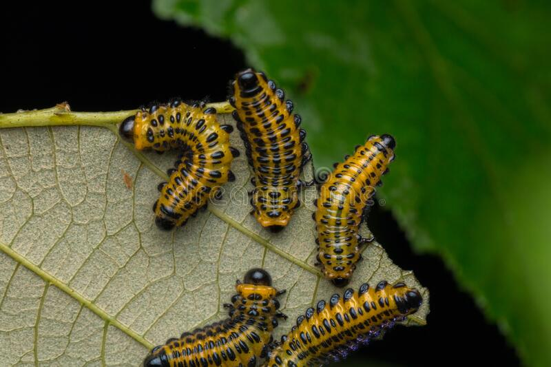A group of sawfly larva on leaves selective focus. Nature wildlife concept stock photo