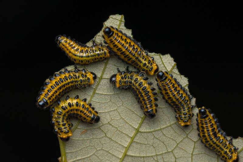A group of sawfly larva on leaves selective focus. Nature wildlife concept stock photos