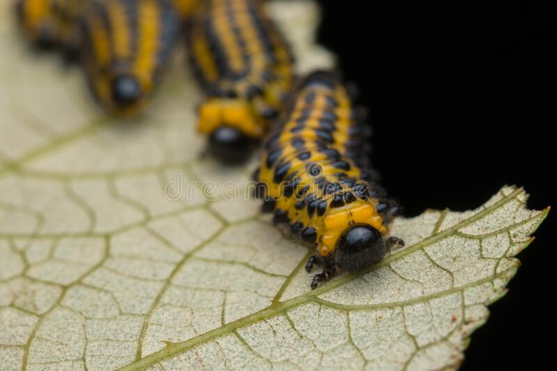 A group of sawfly larva on leaves selective focus. Nature wildlife concept royalty free stock photography