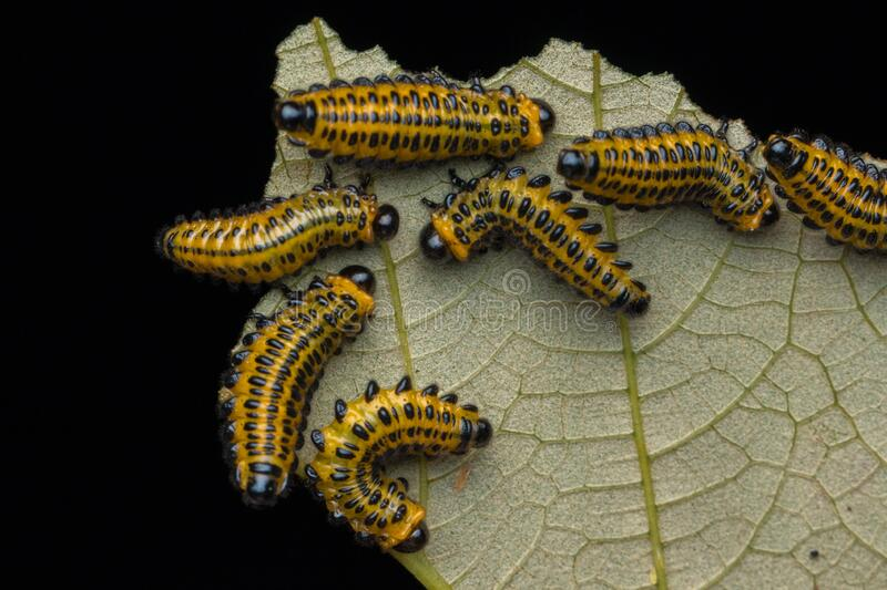 A group of sawfly larva on leaves selective focus. Nature wildlife concept stock image