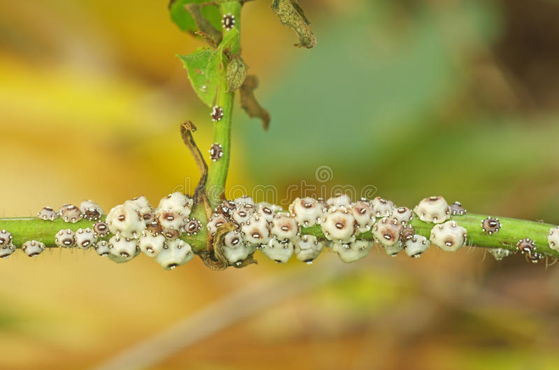 Group of scale insect stock image