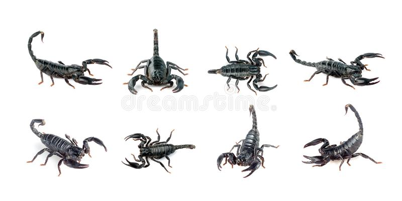 Group of scorpion isolated on a white background. Insect. Animal royalty free stock images