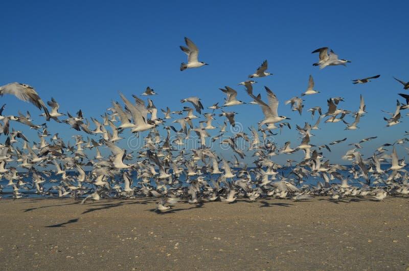 Group of Sea Birds Flying over a Florida Beach. Florida beach with a flock of sea birds flying over the beach stock photo