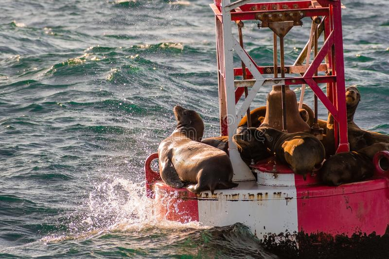 A group of sea lions resting on a buoy at the entrance to Moss L royalty free stock photos