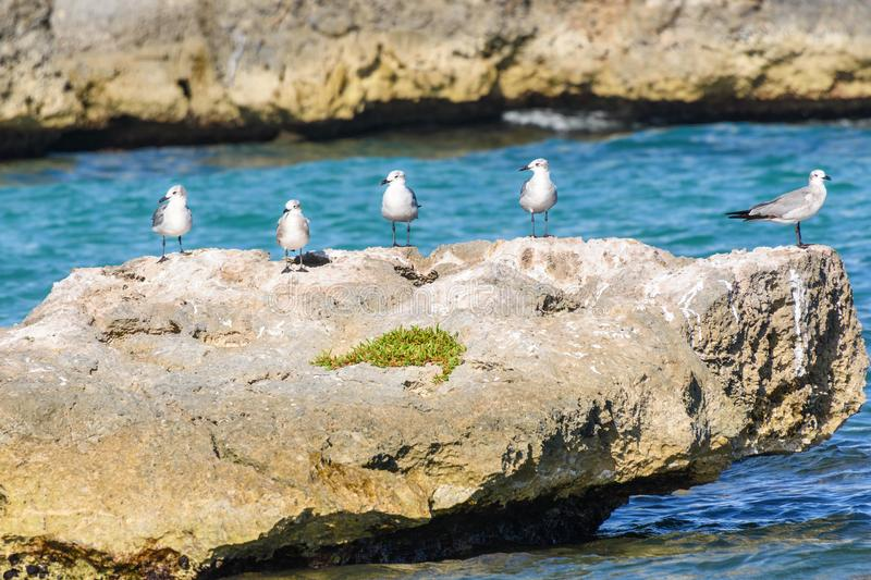 A group of seagulls on a big rock in a caribbean sea lagoon. stock photography