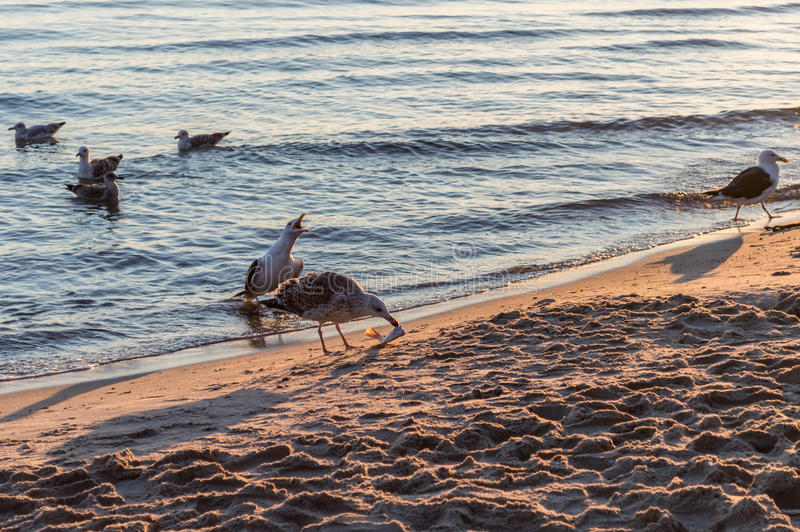 Group of seagulls fighting on sandy sea shore over fish scraps after fishermen clean their catch. Group of seagulls fighting on sandy sea shore over fish scraps royalty free stock photography