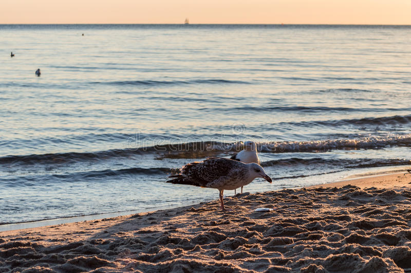 Group of seagulls fighting on sandy sea shore over fish scraps after fishermen clean their catch. Group of seagulls fighting on sandy sea shore over fish scraps royalty free stock images