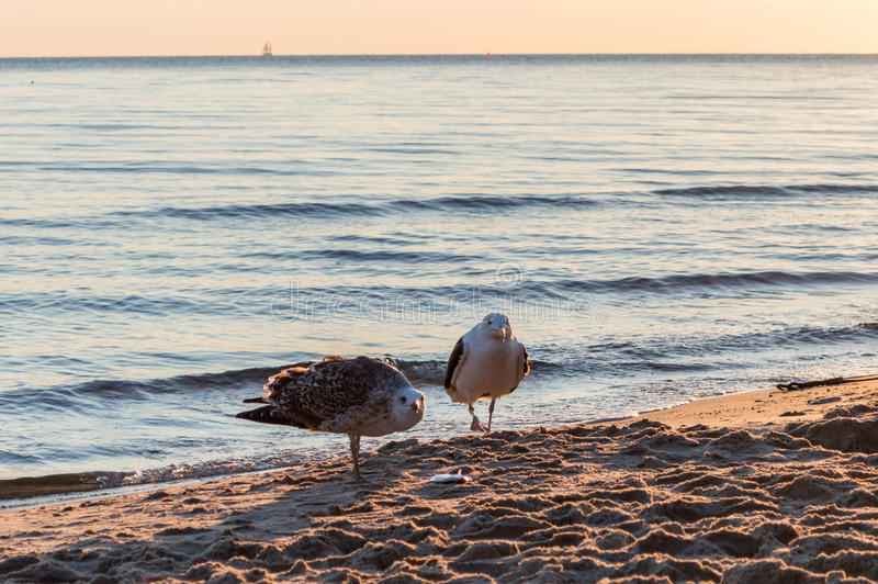 Group of seagulls fighting on sandy sea shore over fish scraps after fishermen clean their catch. Group of seagulls fighting on sandy sea shore over fish scraps royalty free stock photo