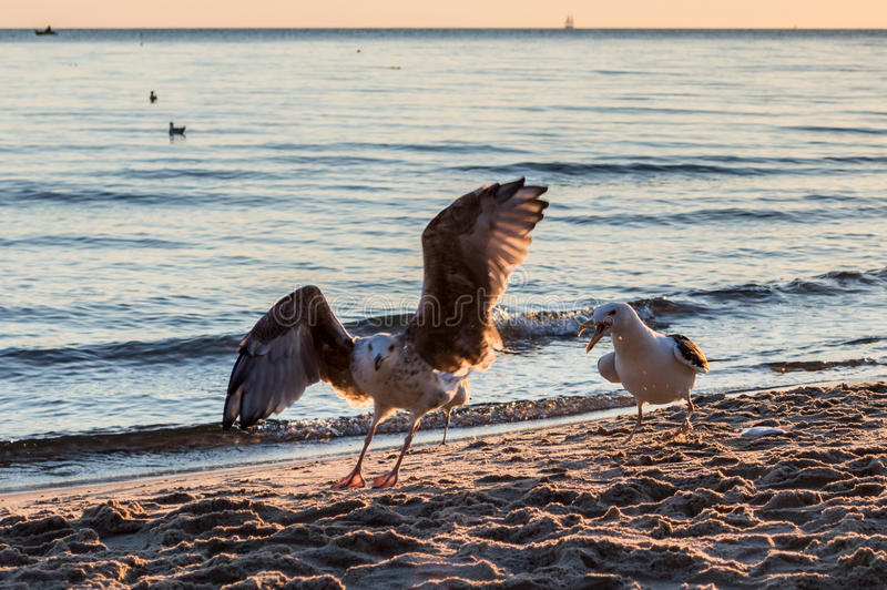 Group of seagulls fighting on sandy sea shore over fish scraps after fishermen clean their catch. Group of seagulls fighting on sandy sea shore over fish scraps stock photo