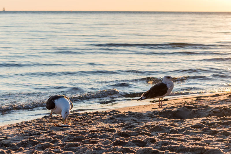 Group of seagulls fighting on sandy sea shore over fish scraps after fishermen clean their catch. Group of seagulls fighting on sandy sea shore over fish scraps royalty free stock photos