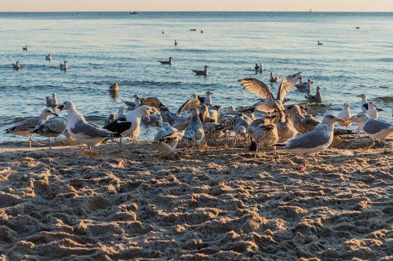 Group of seagulls fighting on sandy sea shore over fish scraps after fishermen clean their catch. Group of seagulls fighting on sandy sea shore over fish scraps stock images