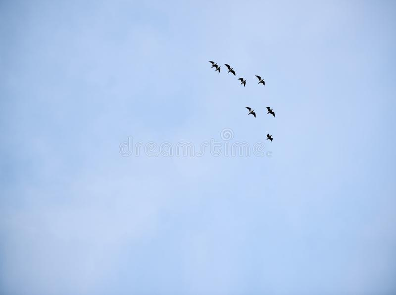 Group of seagulls flying in formation against a pale blue sky royalty free stock photo