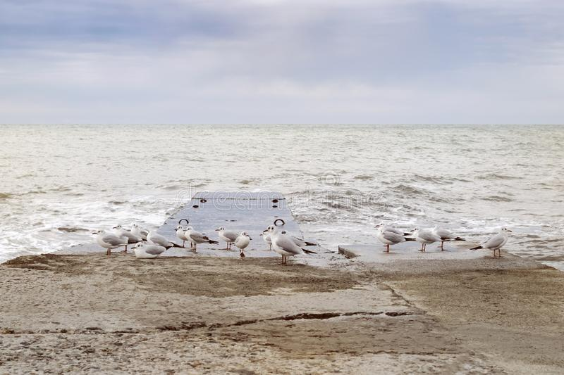 A group of seagulls sits on a wet breakwater after sunset. On the seashore stock photography